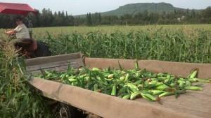 Claire driving the corn wagon